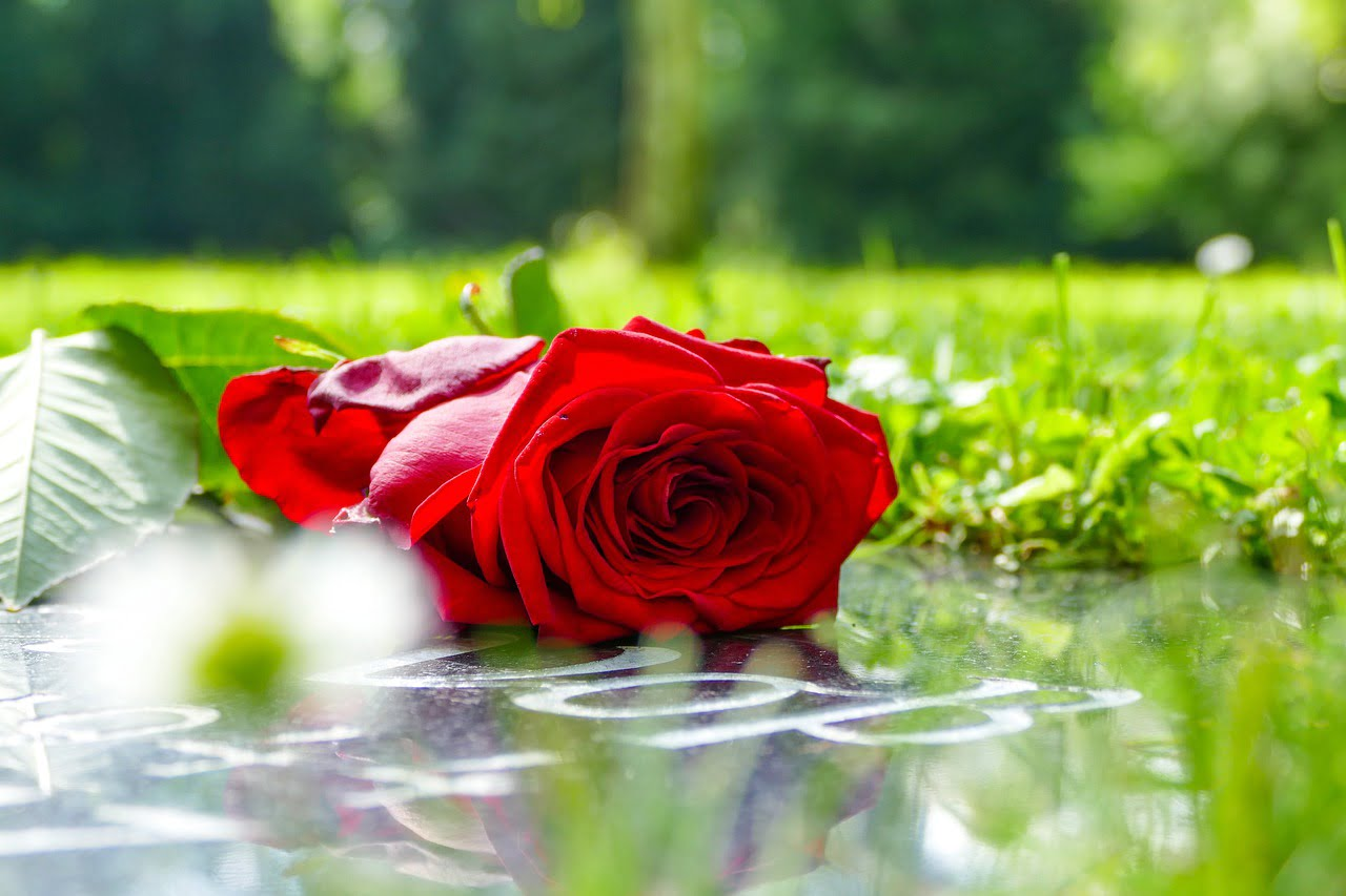 róża na pogrzeb
